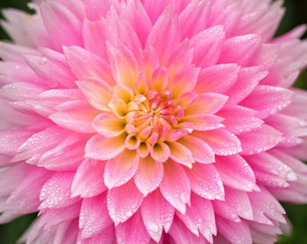 Pink Dahlia Print, Flower Photography, Floral Wall Art