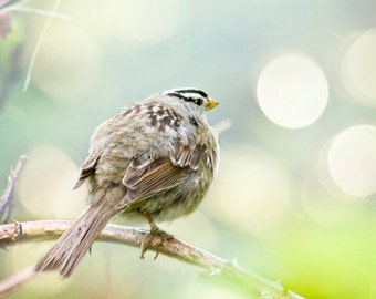 Nature photography, northwest bird photo white crowned sparrow blue green