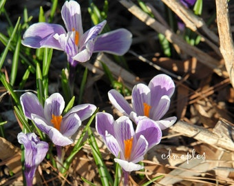 Crocus Flower Photo, Flower Photography, Spring Flower Photo,  Plant Photo