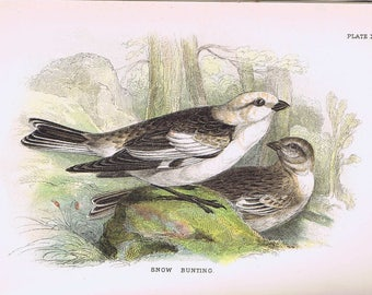 antique print snowbunting 1896