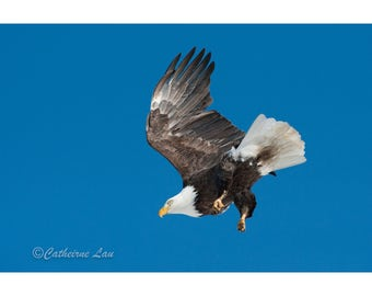 Bald Eagle Flying Photograph Digital Download Fine Art Photography Wild Life