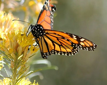 Monarch Butterfly Photography, nature art print, butterfly on sagebrush picture, southwestern decor, wall art photography