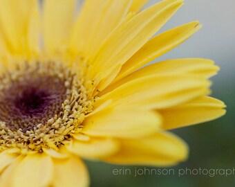 yellow flower photography, gerber daisy, yellow home decor, macro, nature photography, flower petals, yellow wall art