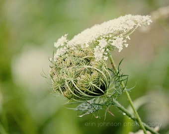 Queen Anne's Lace photography, rustic home decor, green wall art, nature photography,  flower photo, farmhouse living room wall art