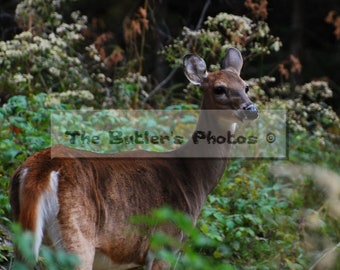 Deer Photograph, Wild Deer Photo, Beautiful Deer Standing In The Woods Print, Fine Art Photo, Nature Photo, Home Or Office Decor