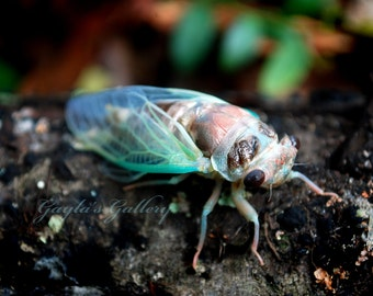 Cicada Photography, Insect Photography, Nature Photography, Locust Photos, Bug Photos,Fine Art Photography