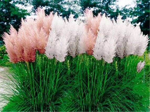 Pampas grass mix cortaderia selloana fast growing workwithnaturefo