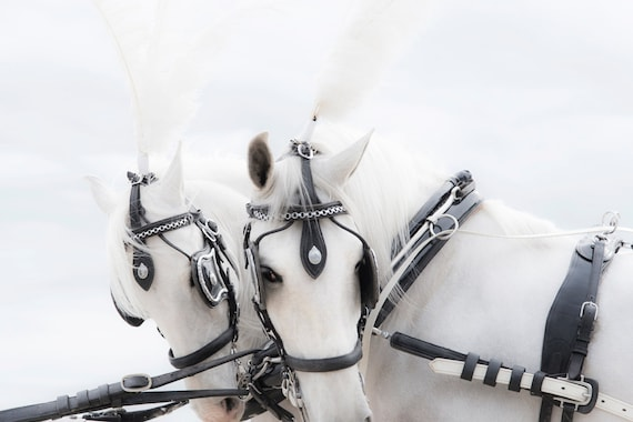 ANGELS. horse print,equine art,photographic print,limited edition,white horses