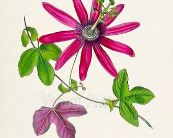 Passiflora kermesina Flower Art Print, Botanical Art Print, Flower Wall Art, Flower Print, Floral Print, pink flower print