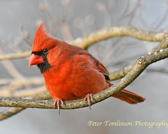 Male Cardinal, Charlotte, N.C.: archival print signed and matted