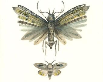 Moths No. 3  print of Watercolor Painting, natural history art
