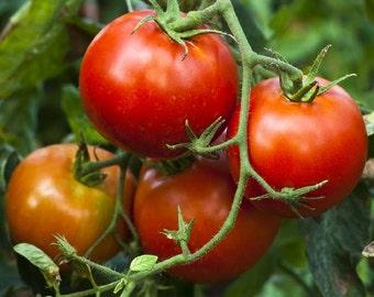 Tomato Plant, Stupice Heirloom Organic Early