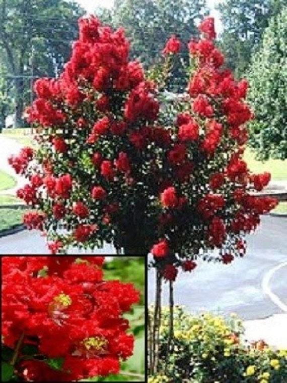 35 myrte de cr pe rouge arbre arbuste tol rant la for Myrte arbuste