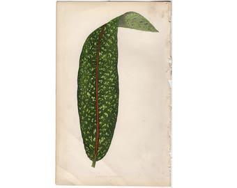 c.1861 ANTIQUE LEAF PRINT - botanical lithograph - original antique print by Lowe - leaved plant horticulture leaves foliage -