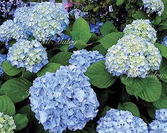 Blue Hydrangea 2 - 16x20 Mat