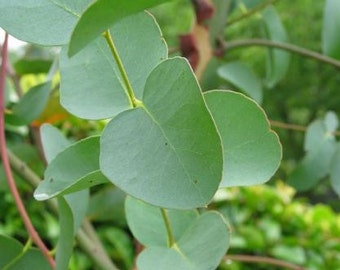 5 Pound Combo Pack, Branches and Leaves, Organic Eucalyptus