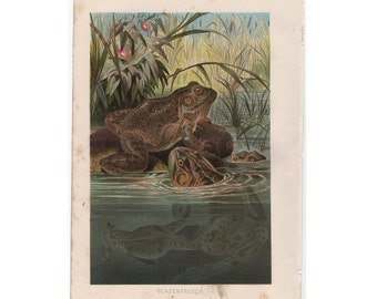 1885 FROGS AMPHIBIAN print original antique water animal frog lithograph
