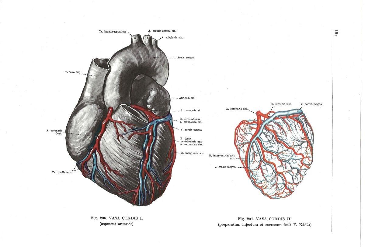 Ziemlich Herz Anatomie Und Physiologie Wikipedia Galerie ...