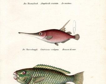 1836 Antique Fish Print Trumpet Fish Parrotfish Brodtmann Fish Print Schinz Folio Pl 72