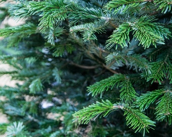 Christmas Tree Print - London Photography - Evergreen