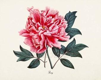 Pink Peony Flower Art Print, Botanical Art Print, Flower Wall Art, Flower Print, Floral Print, Pink Peony Art Print