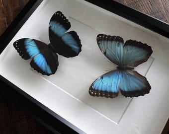Large frame, Morpho Helenor, large frame, real insect.