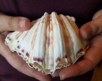 Bear Paw Clam Pairs Shells Clams Seashells Set Halves Half DIY Ring Bearer Pillow Soap Jewelry Candle Holder Dish Nautical Beach Wedding