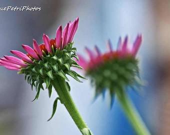 Pink Flower Photos, Fine Art Photograph, Greeting Card or Fridge Magnet, Purple Coneflower, Bedroom Decor, Garden Art, Cottage Chic
