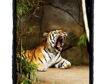 Tiger Yawn with Fang Sleepy Tiger Fine Art Print