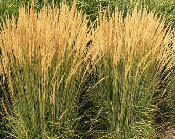 10 Plants...Karl Foerster's Grass, LIVE POTTED Plant, Feather Reed, Cold/Heat Tolerant