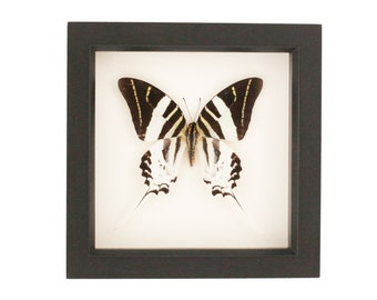 Real Framed Butterfly Giant Swordtail Black and White Display
