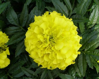 500 Bulk Flower Seeds Marigold Antigua Yellow