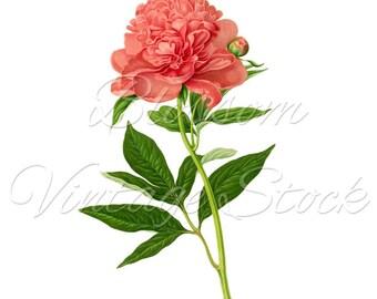 Vintage Botanical Pink Flower Clipart PNG Digital Image - Vintage Peony Illustration  INSTANT DOWNLOAD - 1591