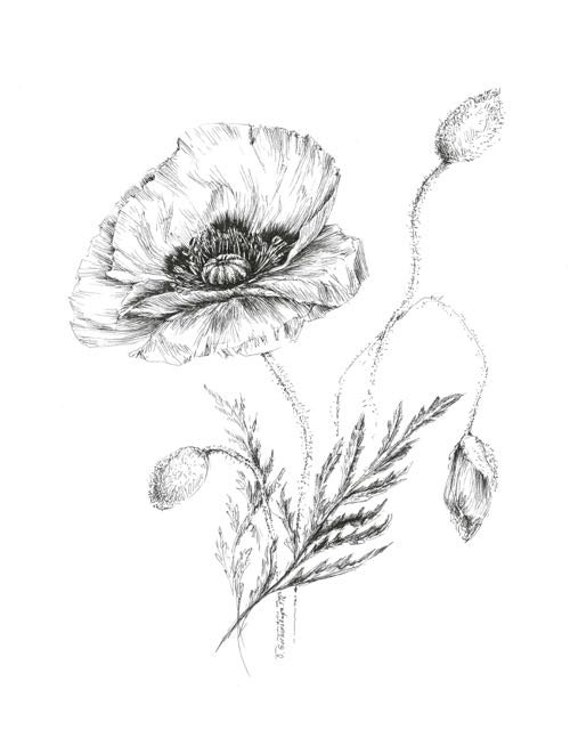 Items similar to poppy drawing botanical prints floral illustrations pen flower sketch art black and white prints picture plant botanical art picture