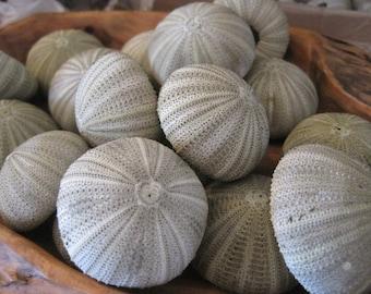 Green Sea Urchins (4)  - Natural Seashells - Coastal home decor - Seashell Supply