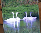 "Ceramic Tile or Coaster - Trumpeter Swans 4.25"" x 4.25"""