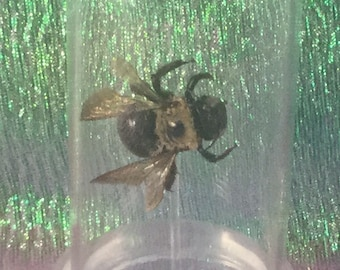 y-36 This listing is for one display!   Entomology Taxidermy  Carpenter Bee Glass Dome Display specimen