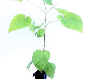 LIVE Northern Catalpa Tree Seedling Starter Plug 12-18+ Inches Catalpa speciosa