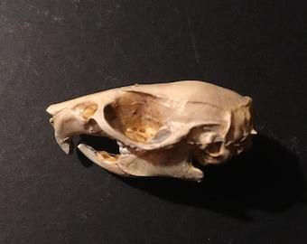 Rat skull replica