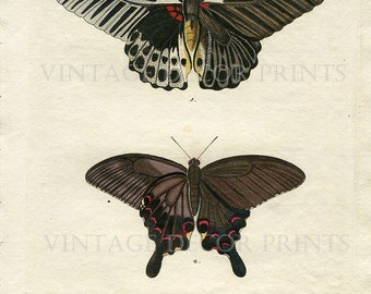 Original Butterfly Print  Hand colored Natural History Entomology Engraving. Papilion Exotic Butterfly Hand Painted Watercolor Butterfly.