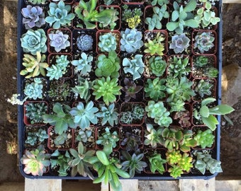 """10 Assorted potted Succulent Collection 2"""" plastic pots succulents great for wedding gifts & FAVORS+"""