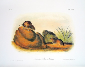 Lecontes Pine Mouse 1989 Vintage Audubon Book Plate Page for Framing Naturalist Illustration