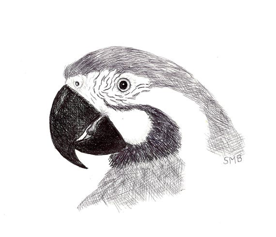 Sally Blanchard Original Pen and Ink Drawing of a Blue and Gold Macaw Companion Parrot