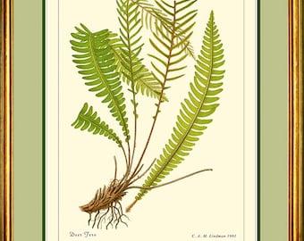 DEER FERN - Vintage Botanical print reproduction 507