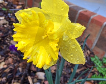 Drops on the Daffodils