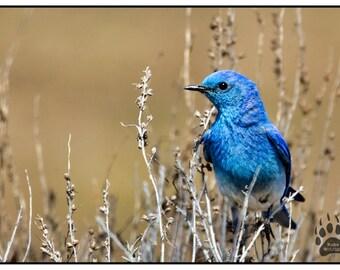 Mountain Blue Bird, Wildlife Photography, Blue Bird Photography Print, Woodland Animals, Colorful Bird, Robs Wildlife, Blue Jay, Outdoors