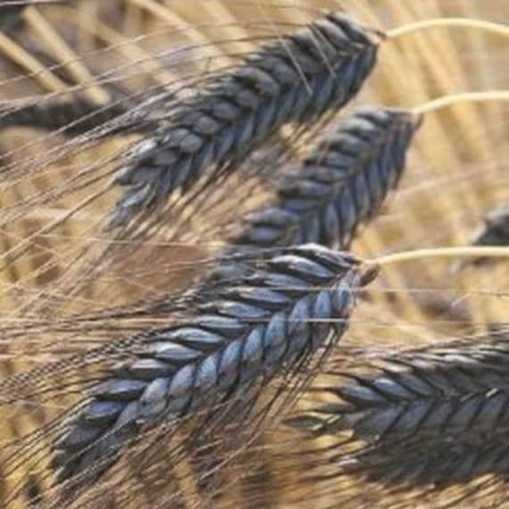 Wheat black knight ornamental grass seeds triticum aestivum like this item workwithnaturefo