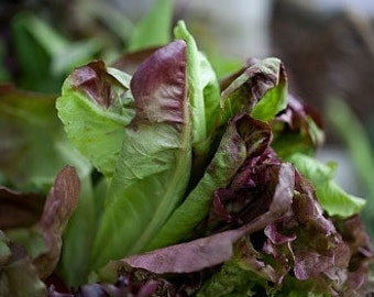 Organic Paris Cimmaron Romaine Lettuce Heirloom Vegetable Seeds