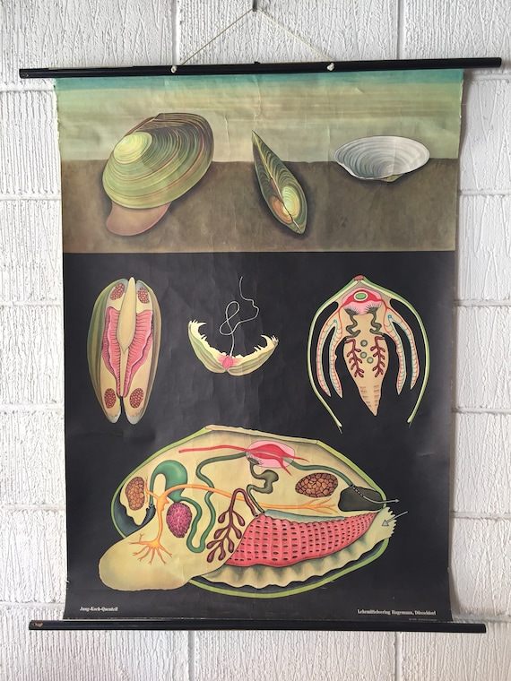Zoological Educational Wall Chart Of A Mussel By Jung Koch Quentell