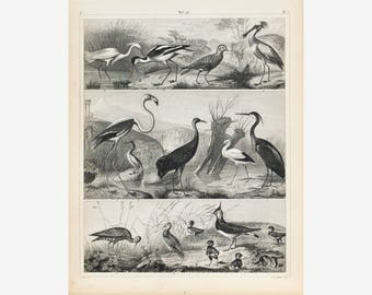 Crane Stork Snipe Godwit Flamingo Antique Bird Print 1857